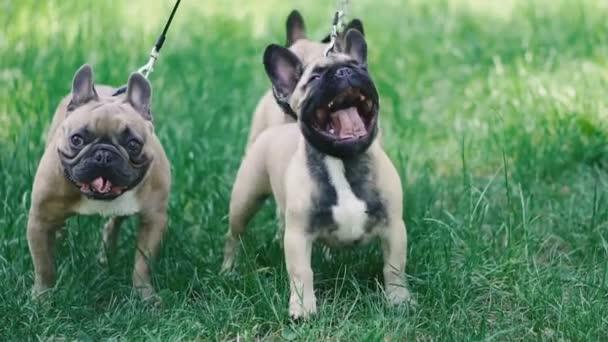 Francia Bulldog. Három kutyafajta Francia Bulldog fajta séta a füvön
