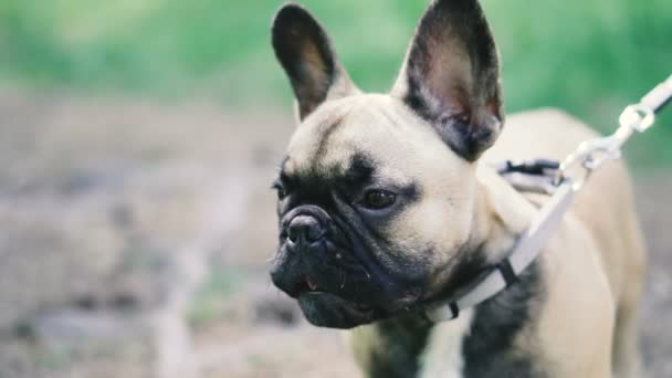 Francia Bulldog. Francia Bulldog kutya gyaloglás-ra fű