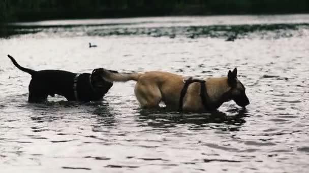 Hunde. Hunde schwimmen im See