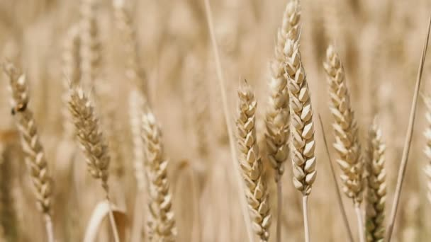 Spikelets of wheat. Close-up wheat