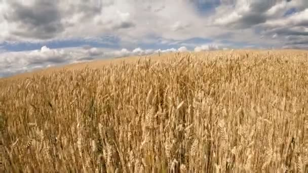 Wheat field. Wheat yellow field against a blue sky.