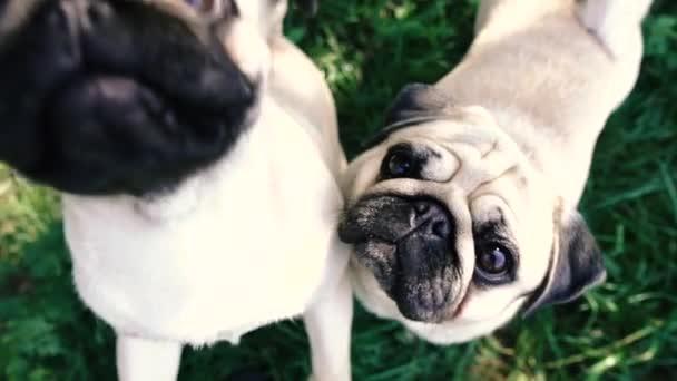 Disznó. Egy kutya portréja, amint ételért könyörög..