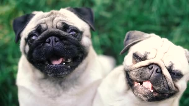 Disznó. Pug fajta kutya portré.