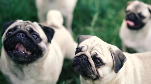 Möpse. Hunde bitten Besitzer um Futter.