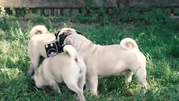Retro kamera. Psi olizují retro fotoaparát.