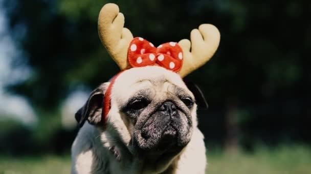Disznó. Portré egy kutya fejdísszel formájában szarvas szarv.