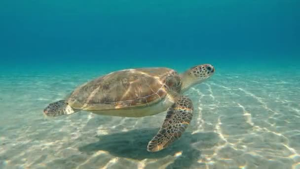 Teknős. A tengeri teknős úszik a tengerben. Egyiptom. Vörös-tenger.