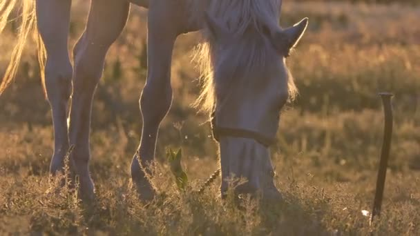 White horse shakes her mane during grazing in slow motion at sunset.