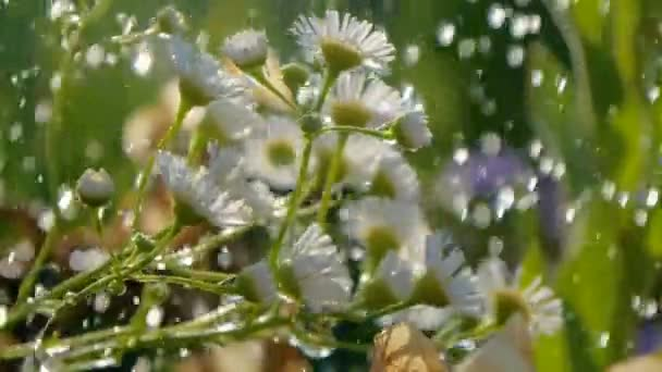 Garden camomile is poured with shower water on a sunny day in summer in slo-mo