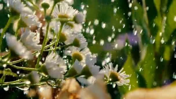 White camomiles are poured with sparkling water on a sunny day in slo-mo