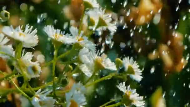 White camomiles under the droplets of sparkling water in a garden in slo-mo
