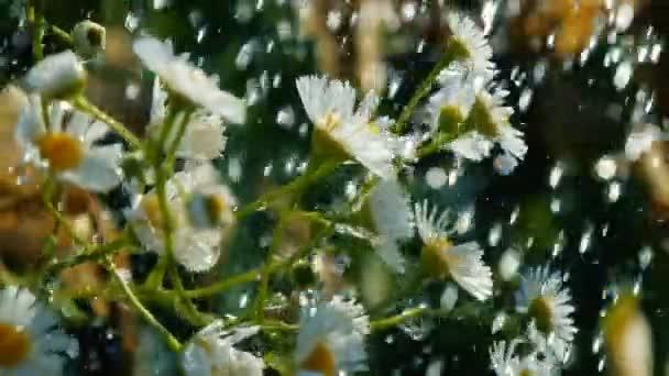Field camomiles under shining streamlets of summer rain in a garden in slo-mo