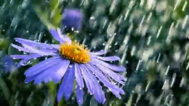 Blue daisy flower under the torents of showering water in summer in slo-mo