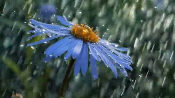 Romantic daisy flower under the streams of showering water in a garden in slo-mo