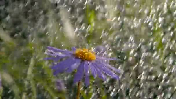 Cheerful daisy flower under rainy droplets in a green garden in summer in slo-mo