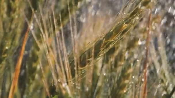 Weizenbündel unter optimistischen Sommerduschen im Sommer in Slo-mo