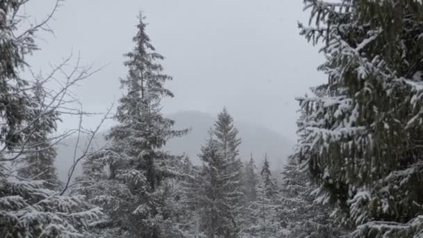 Flying snowflakes in wonderful pine forest in the Carpathian mountains in winter