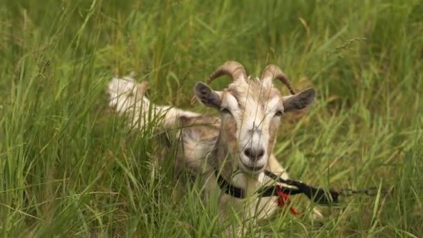 Veselou bílou kozí kozu, pastva a těšíme se na pastvinu v slo