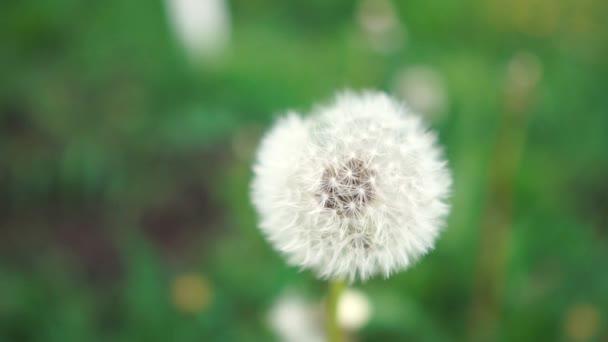 schöner Löwenzahn mit weißen Pusteblumen auf einer grünen Wiese in Zeitlupe