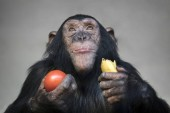 Closeup of chimpanzee monkey portrait at wildlife