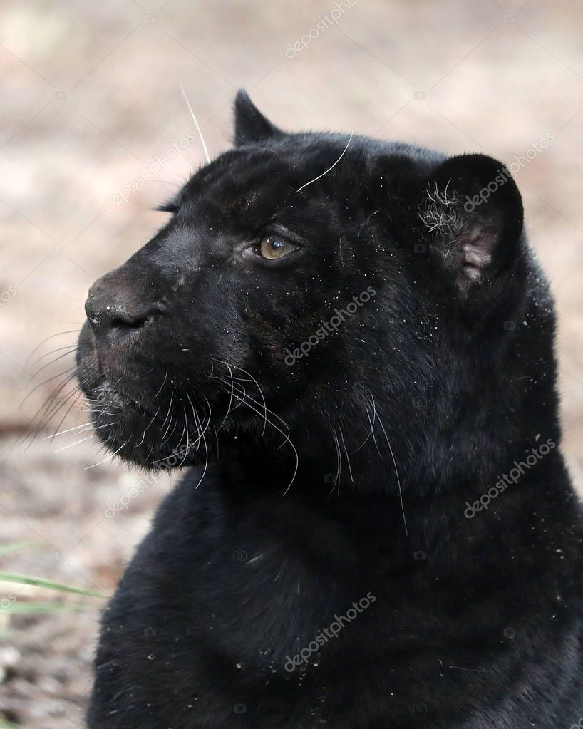 Closeup of black panther lying on ground at daytime