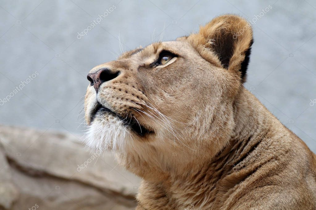 Lioness close up portrait