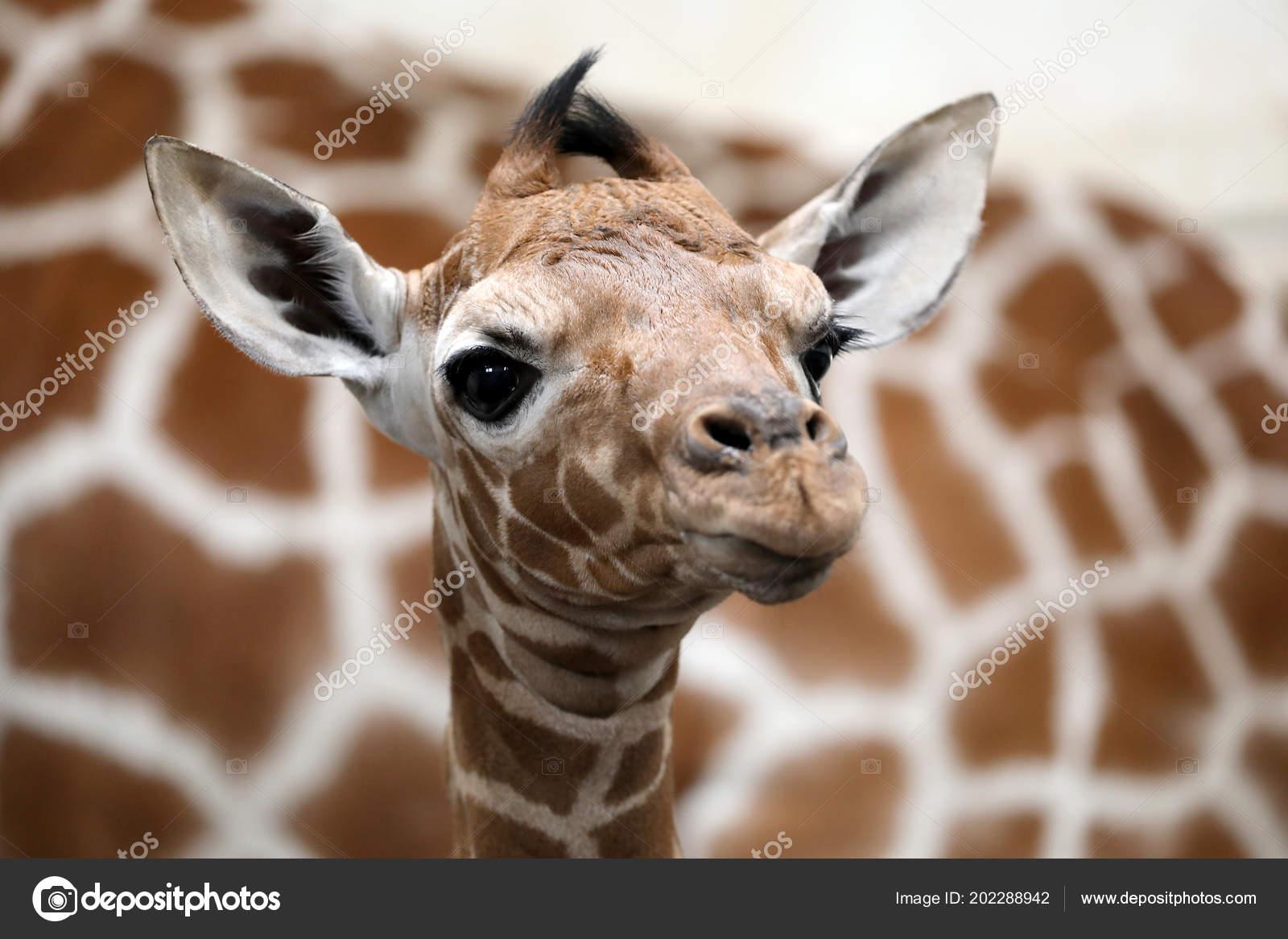 Baby Giraffe Mother Wild Nature Stock Photo Ebfoto 202288942