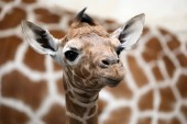 Fotografie Dítě žirafa s matkou v divoké přírodě