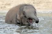 Junge indische Elefanten spielen im Wasser