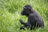 Fotografie Pro dospělé šimpanz opice zvířecí portrét