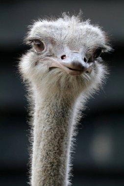 Ostrich bird close-up portrait in natural habitat
