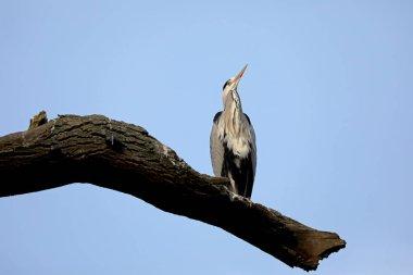 Wild bird Grey Heron close-up in natural habitat