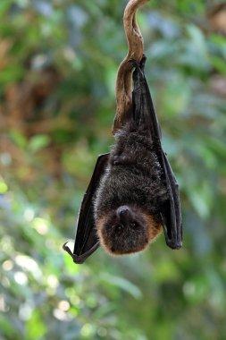 Wild fruit bat hanging in a tree