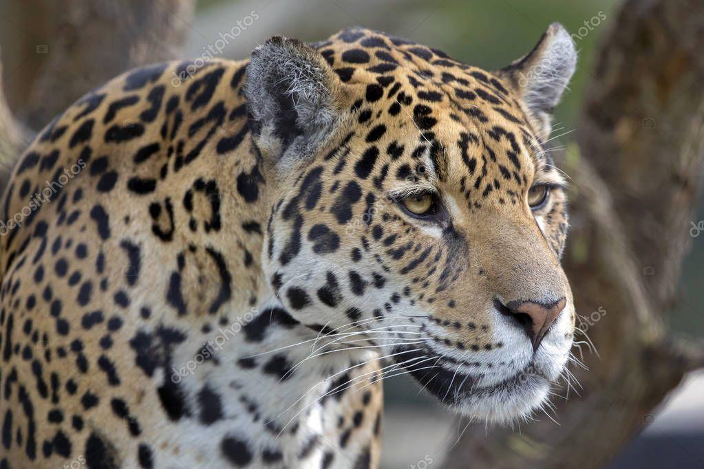 Wild predator animal Jaguar close-up portrait