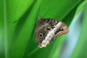 Motýl close-up sova sedící na zelený list