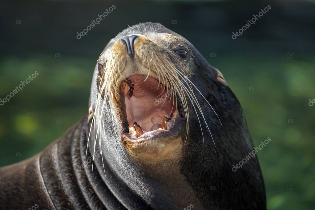 Male Sea Lion wild animal