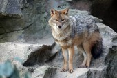 Fotografie Golden jackal portrait standing by rocks