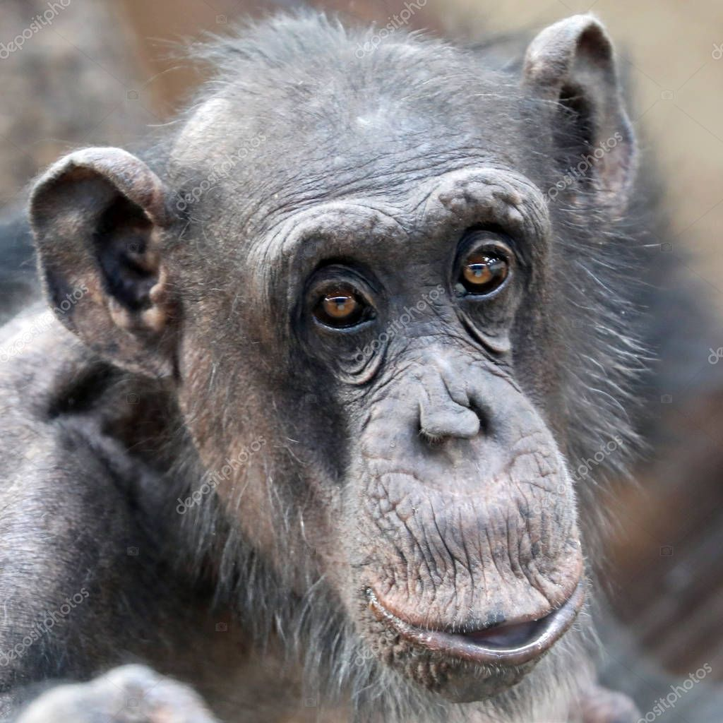Adult Chimpanzee portrait wildlife concept