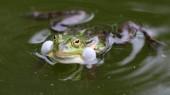 Fotografie Wahre Frosch im Teich im natürlichen Lebensraum