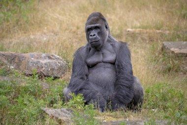 Silverback gorilla portrait in natural habitat