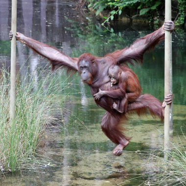 Orangutang mother with child in natural habitat