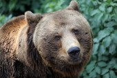 portrait of Brown bear in natural habitat