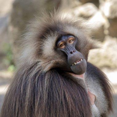 portrait of male bleeding-heart monkey