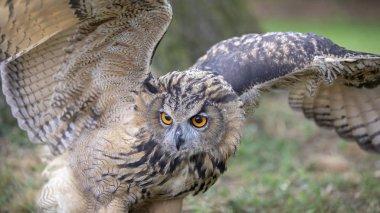 Eurasian Eagle Owl in natural habitat