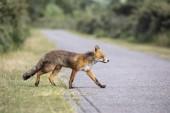 Roztomilý red fox v přirozeném prostředí