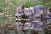Grauer Wolf im Wasser, erstaunliche Tierwelt