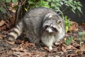 Photo cute raccoon in autumn leaves, closeup