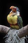 Fotografia Curl crestato aracari uccello seduto sul ramo allaperto