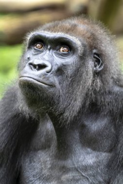 Portrait of black African gorilla ape outdoors
