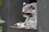 Photo Cute raccoon resting on building part outdoors